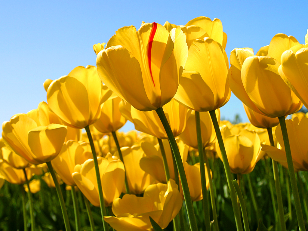 Image of tulips in the sunshine