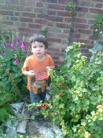 Harvesting currants