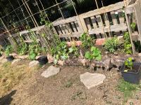 Allotment where the children grow their own produce.
