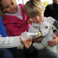 help bottle fed our young lambs and goat kids