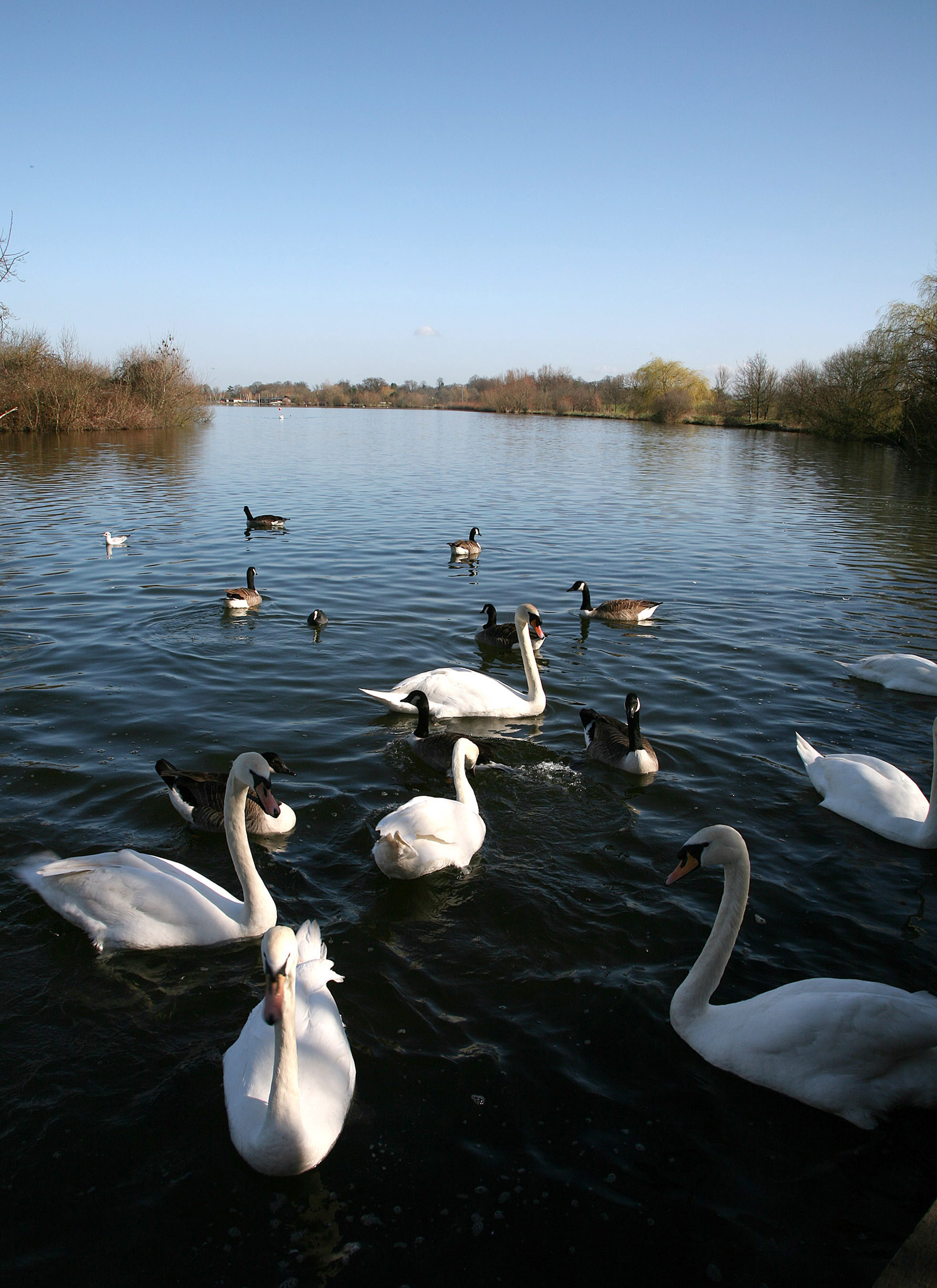Dinton Pastures lake with swans on it
